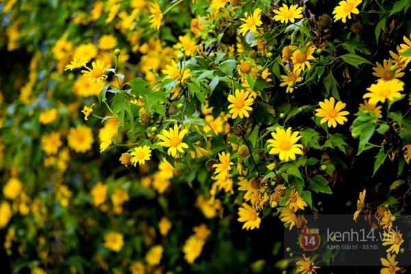 Ngỡ ngàng vẻ đẹp rực rỡ của mùa hoa dã quỳ Đà Lạt 17