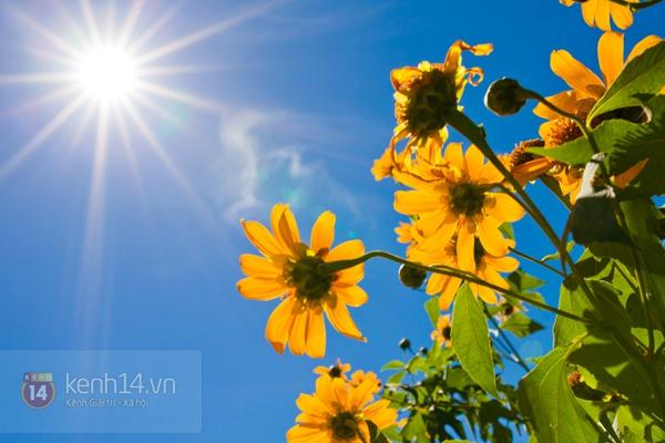 Ngỡ ngàng vẻ đẹp rực rỡ của mùa hoa dã quỳ Đà Lạt 3