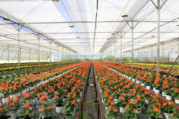 Nông trại hoa lớn nhất Việt Nam nhộn nhịp làm hoa Tết 10