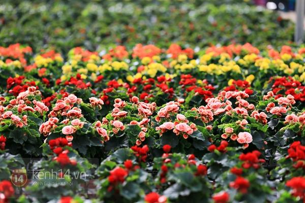 Nông trại hoa lớn nhất Việt Nam nhộn nhịp làm hoa Tết 12