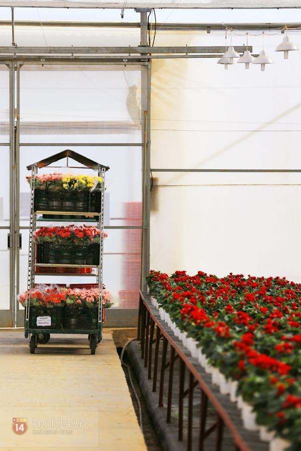 Nông trại hoa lớn nhất Việt Nam nhộn nhịp làm hoa Tết 13