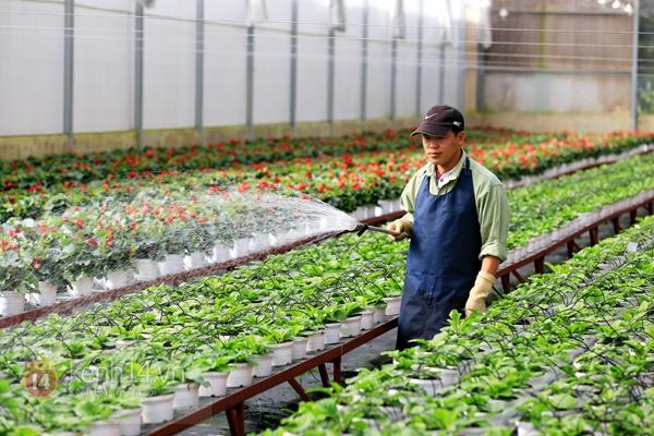 Nông trại hoa lớn nhất Việt Nam nhộn nhịp làm hoa Tết 14