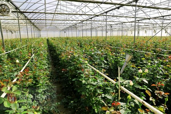 Nông trại hoa lớn nhất Việt Nam nhộn nhịp làm hoa Tết 16