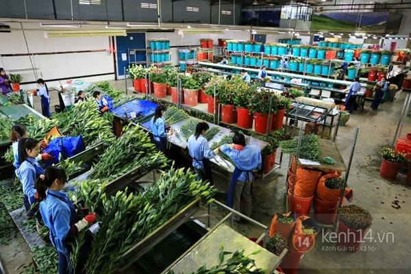 Nông trại hoa lớn nhất Việt Nam nhộn nhịp làm hoa Tết 21