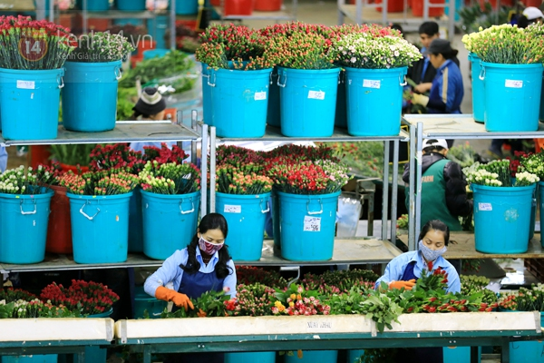 Nông trại hoa lớn nhất Việt Nam nhộn nhịp làm hoa Tết 22