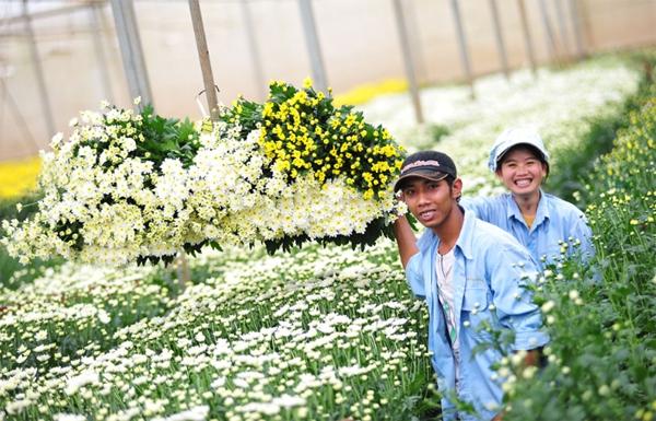 Nông trại hoa lớn nhất Việt Nam nhộn nhịp làm hoa Tết 4