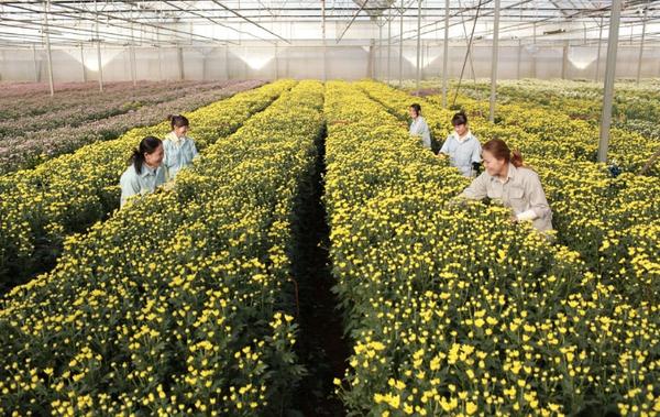 Nông trại hoa lớn nhất Việt Nam nhộn nhịp làm hoa Tết 8