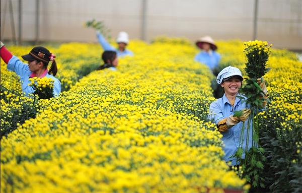 Nông trại hoa lớn nhất Việt Nam nhộn nhịp làm hoa Tết 5
