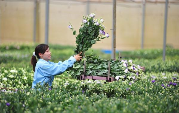 Nông trại hoa lớn nhất Việt Nam nhộn nhịp làm hoa Tết 6