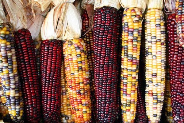 Giống ngô có hạt nhiều màu - ngô cầu vồng - giong ngo co hat da mau va ong anh nhu ngoc
