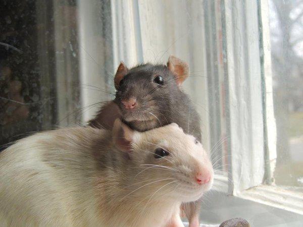 Màn trình diễn vượt rào, nhảy xa, nhặt đồng xu điệu nghệ của đàn chuột 4