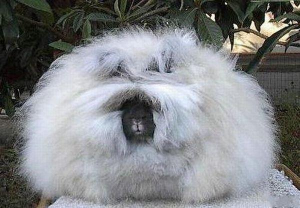 """Loài thỏ siêu đáng yêu có bộ lông """"xù"""" nhất thế giới 9"""