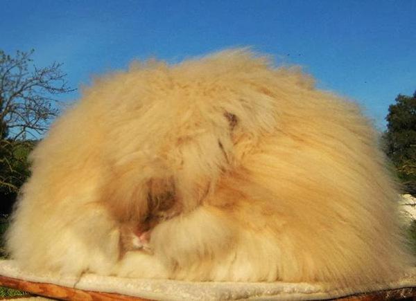 """Loài thỏ siêu đáng yêu có bộ lông """"xù"""" nhất thế giới 10"""