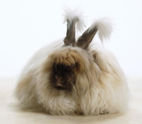 """Loài thỏ siêu đáng yêu có bộ lông """"xù"""" nhất thế giới 1"""