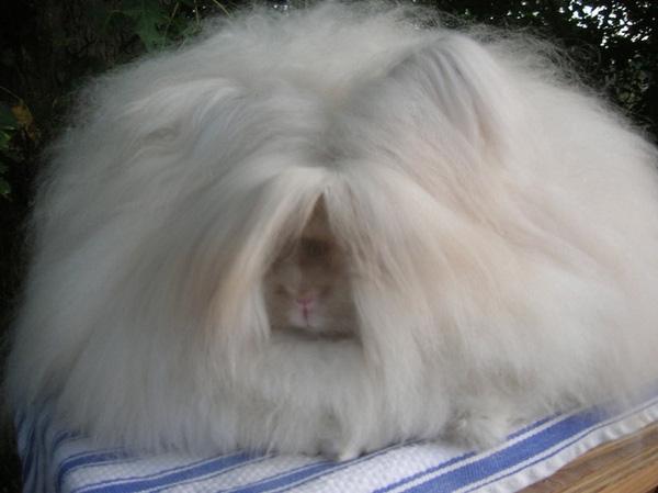 """Loài thỏ siêu đáng yêu có bộ lông """"xù"""" nhất thế giới 3"""
