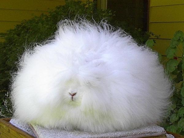 """Loài thỏ siêu đáng yêu có bộ lông """"xù"""" nhất thế giới 4"""