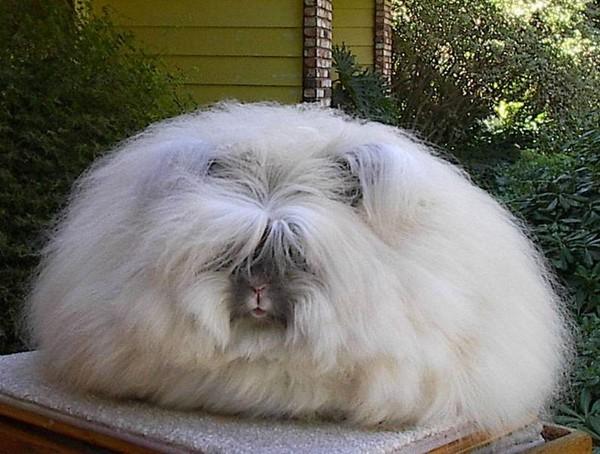 """Loài thỏ siêu đáng yêu có bộ lông """"xù"""" nhất thế giới 5"""