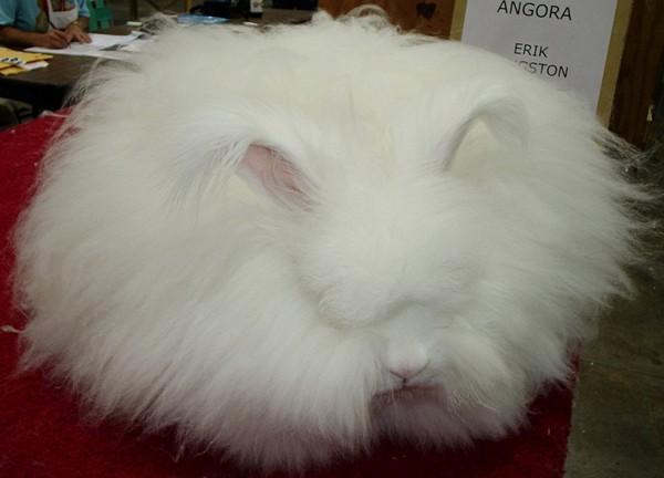 """Loài thỏ siêu đáng yêu có bộ lông """"xù"""" nhất thế giới 6"""