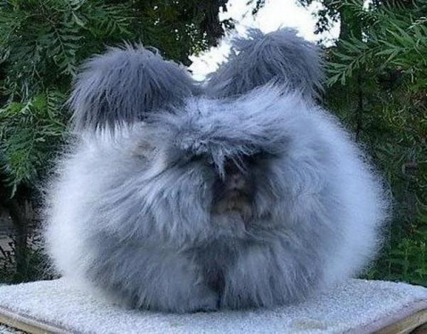 """Loài thỏ siêu đáng yêu có bộ lông """"xù"""" nhất thế giới 7"""