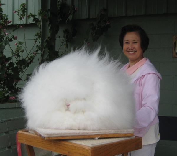 """Loài thỏ siêu đáng yêu có bộ lông """"xù"""" nhất thế giới 2"""