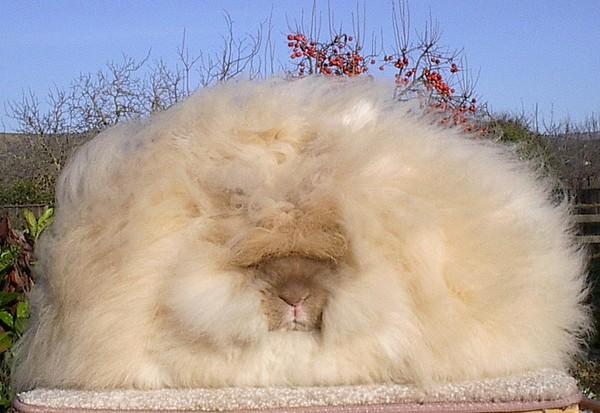 """Loài thỏ siêu đáng yêu có bộ lông """"xù"""" nhất thế giới 8"""