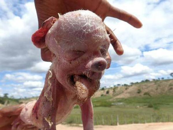 Quái thai lợn mặt người gây náo loạn Brazil 3