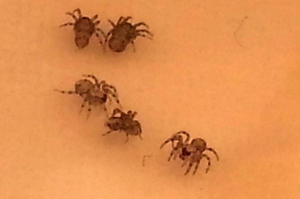 Bỏ của chạy lấy người vì hàng trăm con nhện độc làm tổ trên nải chuối 3