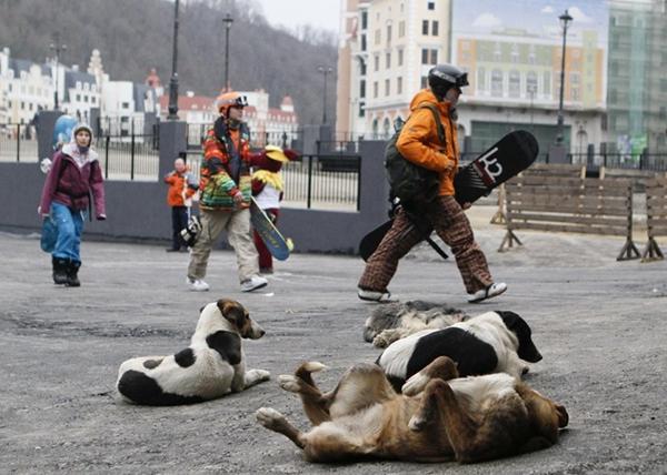 Olympic Mùa đông 2014: Hàng ngàn chú chó hoang dạo chơi tại Sochi 2