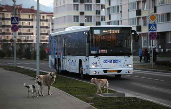 Olympic Mùa đông 2014: Hàng ngàn chú chó hoang dạo chơi tại Sochi 4