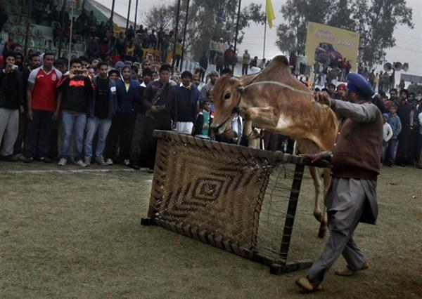 """Lái xe bằng thang, đua bò... và các môn thể thao cực """"dị"""" tại Ấn Độ 16"""