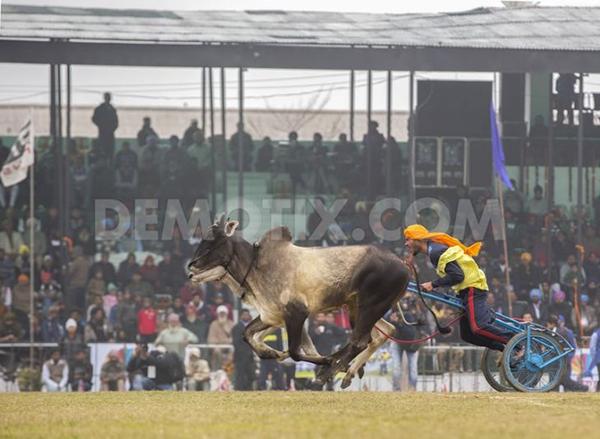 """Lái xe bằng thang, đua bò... và các môn thể thao cực """"dị"""" tại Ấn Độ 21"""