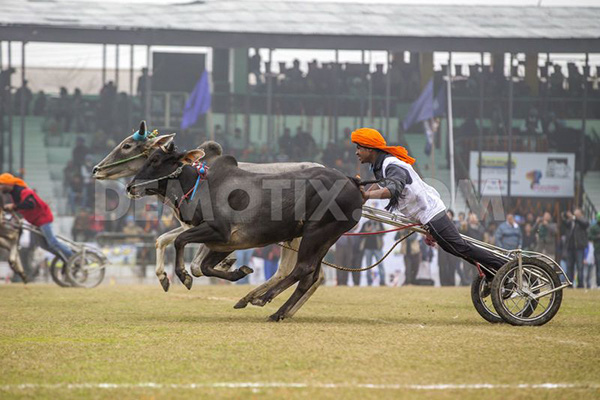 """Lái xe bằng thang, đua bò... và các môn thể thao cực """"dị"""" tại Ấn Độ 22"""