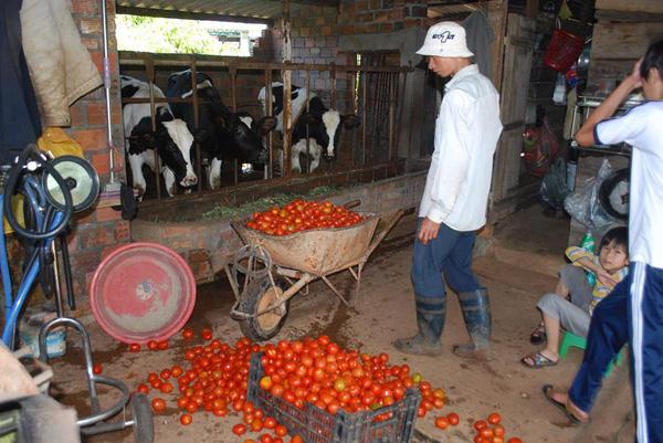 Xót xa nhìn cảnh cà chua ở Lâm Đồng phải bỏ đem cho bò ăn vì rớt giá 5