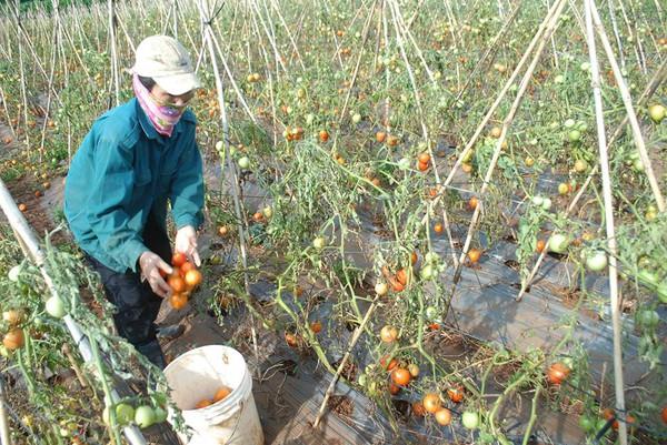 Xót xa nhìn cảnh cà chua ở Lâm Đồng phải bỏ đem cho bò ăn vì rớt giá 4