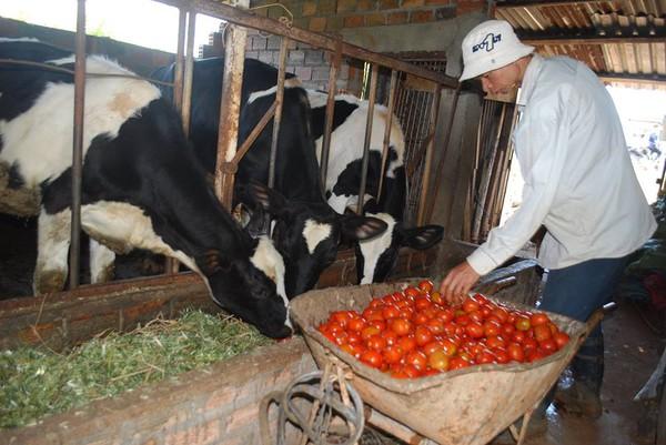 Xót xa nhìn cảnh cà chua ở Lâm Đồng phải bỏ đem cho bò ăn vì rớt giá 6