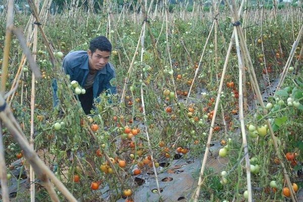 Xót xa nhìn cảnh cà chua ở Lâm Đồng phải bỏ đem cho bò ăn vì rớt giá 2