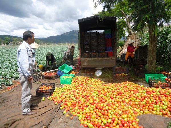 Xót xa nhìn cảnh cà chua ở Lâm Đồng phải bỏ đem cho bò ăn vì rớt giá 7