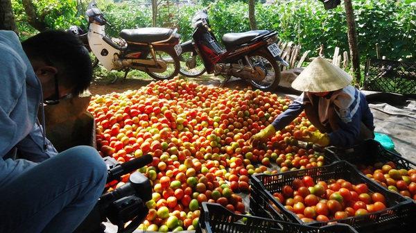 Xót xa nhìn cảnh cà chua ở Lâm Đồng phải bỏ đem cho bò ăn vì rớt giá 8