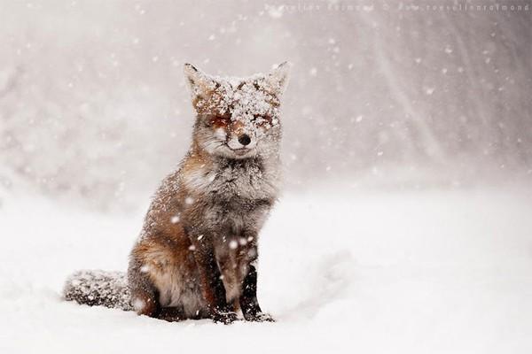 Điểm mặt 7 loài cáo xinh đẹp nhất thế giới mà bạn có thể chưa biết 3
