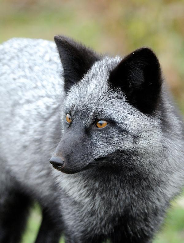 Điểm mặt 7 loài cáo xinh đẹp nhất thế giới mà bạn có thể chưa biết 13