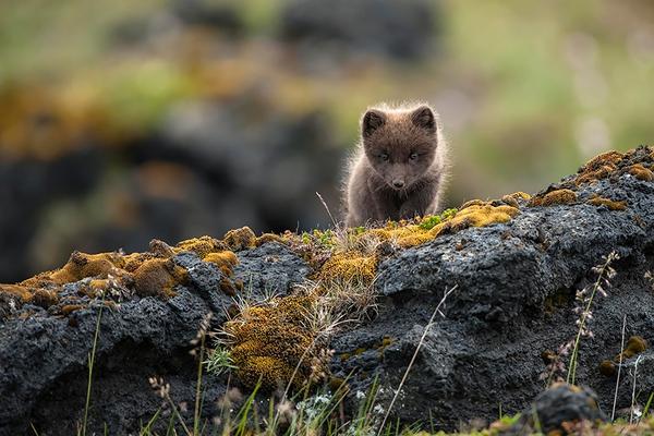 Điểm mặt 7 loài cáo xinh đẹp nhất thế giới mà bạn có thể chưa biết 16