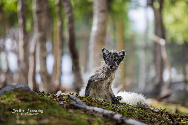 Điểm mặt 7 loài cáo xinh đẹp nhất thế giới mà bạn có thể chưa biết 18