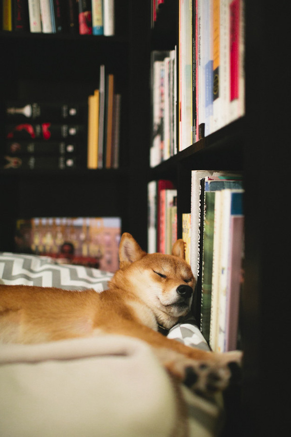 16 bé cún Shiba Inu ngái ngủ đáng yêu tới nỗi chẳng nỡ đánh thức 11