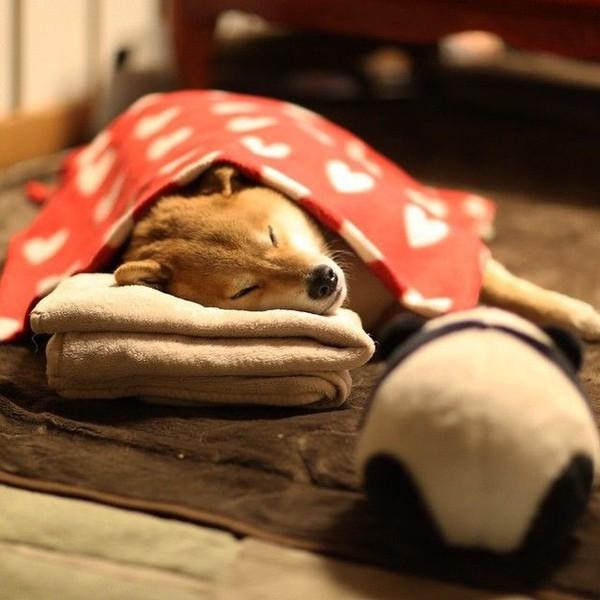 16 bé cún Shiba Inu ngái ngủ đáng yêu tới nỗi chẳng nỡ đánh thức 12