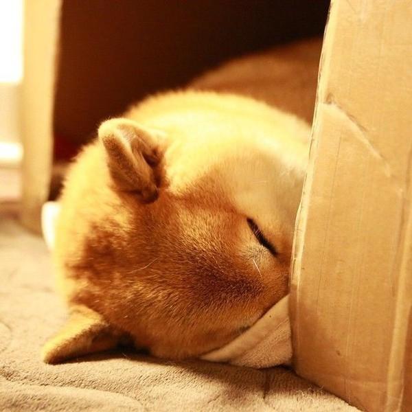 16 bé cún Shiba Inu ngái ngủ đáng yêu tới nỗi chẳng nỡ đánh thức 13
