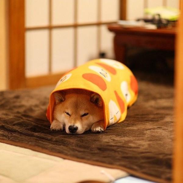 16 bé cún Shiba Inu ngái ngủ đáng yêu tới nỗi chẳng nỡ đánh thức 14