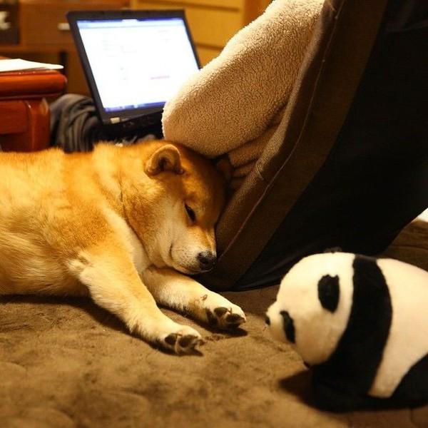 16 bé cún Shiba Inu ngái ngủ đáng yêu tới nỗi chẳng nỡ đánh thức 15