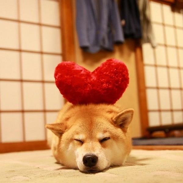 16 bé cún Shiba Inu ngái ngủ đáng yêu tới nỗi chẳng nỡ đánh thức 16