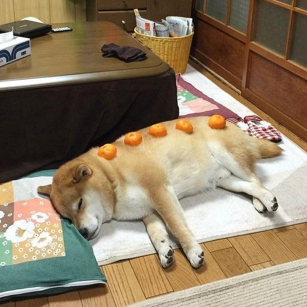 16 bé cún Shiba Inu ngái ngủ đáng yêu tới nỗi chẳng nỡ đánh thức 3