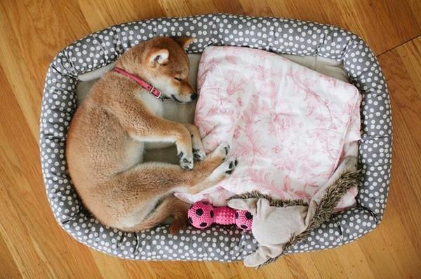 16 bé cún Shiba Inu ngái ngủ đáng yêu tới nỗi chẳng nỡ đánh thức 5